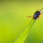 Image of a tick on a blade of grass. Ticks.